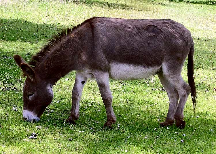 A picture of a donkey eating grass